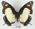 (Charaxes nobilis - BC-EV1338)  @14 [ ] Unspecified (default): All Rights Reserved  Unspecified Unspecified