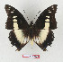 (Charaxes claudei - BC-EV1340)  @14 [ ] Unspecified (default): All Rights Reserved  Unspecified Unspecified