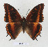 (Charaxes musakensis - BC-EV1341)  @14 [ ] Unspecified (default): All Rights Reserved  Unspecified Unspecified