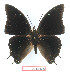 (Charaxes plantroui - BC-EV1342)  @13 [ ] Unspecified (default): All Rights Reserved  Unspecified Unspecified