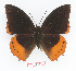 (Charaxes protoclea cedreici - BC-EV1350)  @14 [ ] Unspecified (default): All Rights Reserved  Unspecified Unspecified