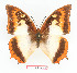 (Charaxes protoclea catenaria - BC-EV1352)  @14 [ ] Unspecified (default): All Rights Reserved  Unspecified Unspecified