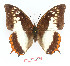 (Charaxes protoclea nothodes - BC-EV1358)  @14 [ ] Unspecified (default): All Rights Reserved  Unspecified Unspecified