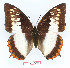 (Charaxes protoclea protonothodes - BC-EV1362)  @14 [ ] Unspecified (default): All Rights Reserved  Unspecified Unspecified