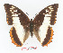(Charaxes protoclea protoclea - BC-EV1364)  @14 [ ] Unspecified (default): All Rights Reserved  Unspecified Unspecified