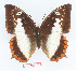 (Charaxes protoclea protonothodes - BC-EV1367)  @14 [ ] Unspecified (default): All Rights Reserved  Unspecified Unspecified