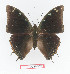 (Charaxes fionae - BC-EV1375)  @15 [ ] Unspecified (default): All Rights Reserved  Unspecified Unspecified