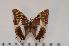 (Charaxes tessieri - BC-Turl -0014)  @14 [ ] Unspecified (default): All Rights Reserved  Unspecified Unspecified