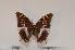 (Charaxes gallleyanus white form - BC-Turl -0018)  @13 [ ] Unspecified (default): All Rights Reserved  Unspecified Unspecified