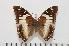 (Charaxes cedreatis f.inexpectata - BC-Turl -0046)  @14 [ ] Unspecified (default): All Rights Reserved  Unspecified Unspecified
