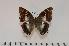 (Charaxes variata f.tricolor - BC-Turl -0082)  @15 [ ] Unspecified (default): All Rights Reserved  Unspecified Unspecified