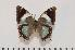 (Charaxes subrubidus f.atribasis - BC-Turl -0084)  @14 [ ] Unspecified (default): All Rights Reserved  Unspecified Unspecified