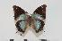 (Charaxes chintechi f.pseudophaeus - BC-Turl -0095)  @15 [ ] Unspecified (default): All Rights Reserved  Unspecified Unspecified