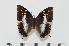 (Charaxes maccleeryi - BC-Turl -0118)  @15 [ ] Unspecified (default): All Rights Reserved  Unspecified Unspecified
