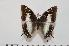 (Charaxes contrarius f.contrarius - BC-Turl -0155)  @14 [ ] Unspecified (default): All Rights Reserved  Unspecified Unspecified