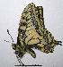 (Papilio machaon - RV-08-A016)  @16 [ ] Copyright (2010) Unspecified Institute of Evolutionary Biology