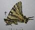 (Papilionidae - RV-08-A029)  @16 [ ] Copyright (2010) Unspecified Institute of Evolutionary Biology