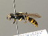  (Crossocerus binotatus - BC ZSM HYM 04276)  @13 [ ] CreativeCommons - Attribution Non-Commercial Share-Alike (2010) Stefan Schmidt ZSM (Zoologische Staatssammlung Muenchen)