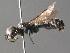(Pemphredon montanus - BC ZSM HYM 05181)  @11 [ ] CreativeCommons - Attribution Non-Commercial Share-Alike (2010) Stefan Schmidt ZSM (Zoologische Staatssammlung Muenchen)