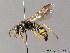 (Gorytes laticinctus - BC ZSM HYM 05731)  @14 [ ] CreativeCommons - Attribution Non-Commercial Share-Alike (2010) Stefan Schmidt ZSM (Zoologische Staatssammlung Muenchen)