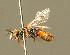 (Sphecodes zangherii - BC ZSM HYM 01496)  @11 [ ] CreativeCommons - Attribution Non-Commercial Share-Alike (2010) Unspecified ZSM (Zoologische Staatssammlung Muenchen)