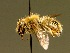 (Anthidium montanum - BC ZSM HYM 01927)  @13 [ ] CreativeCommons - Attribution Non-Commercial Share-Alike (2010) Unspecified ZSM (Zoologische Staatssammlung Muenchen)