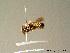 (Megachile pyrenaica - BC ZSM HYM 06984)  @13 [ ] CreativeCommons - Attribution Non-Commercial Share-Alike (2010) Stefan Schmidt ZSM (Zoologische Staatssammlung Muenchen)