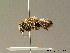 (Megachile rufescens - BC ZSM HYM 07008)  @13 [ ] CreativeCommons - Attribution Non-Commercial Share-Alike (2010) Stefan Schmidt ZSM (Zoologische Staatssammlung Muenchen)