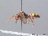( - BC ZSM HYM 08832)  @14 [ ] CreativeCommons - Attribution Non-Commercial Share-Alike (2010) Stefan Schmidt ZSM (Zoologische Staatssammlung Muenchen)