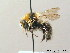 (Bombus semenoviellus - BC ZSM HYM 08975)  @15 [ ] CreativeCommons - Attribution Non-Commercial Share-Alike (2010) Stefan Schmidt ZSM (Zoologische Staatssammlung Muenchen)