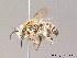 (Tetralonia - BC ZSM HYM 10059)  @16 [ ] CreativeCommons - Attribution Non-Commercial Share-Alike (2011) Stefan Schmidt ZSM (Zoologische Staatssammlung Muenchen)