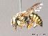 (Anthidium loti - BC ZSM HYM 10066)  @14 [ ] CreativeCommons - Attribution Non-Commercial Share-Alike (2011) Stefan Schmidt ZSM (Zoologische Staatssammlung Muenchen)