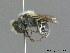 (Hoplitis anthocopoides - BC ZSM HYM 09804)  @14 [ ] CreativeCommons - Attribution Non-Commercial Share-Alike (2010) Stefan Schmidt ZSM (Zoologische Staatssammlung Muenchen)