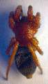  (Scotophaeus - BC ZSM ARA 00226)  @13 [ ] CreativeCommons - Attribution Share-Alike (2010) Zoologische Staatssammlung Muenchen Zoologische Staatssammlung Muenchen