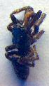 ( - BC ZSM ARA 00295)  @12 [ ] CreativeCommons - Attribution Share-Alike (2010) Zoologische Staatssammlung Muenchen Zoologische Staatssammlung Muenchen