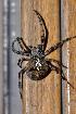 (Araneus angulatus - GBOL08296)  @15 [ ] CreativeCommons – Attribution Non-Commercial Share-Alike (2009) Joerg Spelda ZSM (Zoologische Staatssammlung Muenchen)