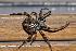 (Araneus quadratus - GBOL08297)  @15 [ ] CreativeCommons – Attribution Non-Commercial Share-Alike (2009) Joerg Spelda ZSM (Zoologische Staatssammlung Muenchen)