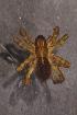 (Araneus diadematus - GBOL08301)  @14 [ ] CreativeCommons – Attribution Non-Commercial Share-Alike (2010) Joerg Spelda ZSM (Zoologische Staatssammlung Muenchen)