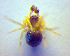  (Paidiscura - BC ZSM ARA 00402)  @11 [ ] CreativeCommons - Attribution Share-Alike (2010) Zoologische Staatssammlung Muenchen Zoologische Staatssammlung Muenchen