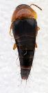 (Tachyporus ruficollis - BC ZSM COL 00016)  @13 [ ] CreativeCommons - Attribution Share-Alike (2010) Unspecified Zoologische Staatssammlung Muenchen