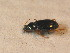 (Bembidion italicum - BFB_Col_FK_9520)  @11 [ ] Unspecified (default): All Rights Reserved  Unspecified Unspecified