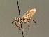 (Haematopota scutellata - BC ZSM DIP 00058)  @14 [ ] CreativeCommons - Attribution Non-Commercial Share-Alike (2010) Unspecified ZSM (Zoologische Staatssammlung Muenchen)