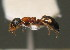 (Dolichoderus quadripunctatus - BC ZSM HYM 00573)  @13 [ ] CreativeCommons - Attribution Non-Commercial Share-Alike (2010) Unspecified ZSM (Zoologische Staatssammlung Muenchen)