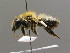  (Megachile nigriventris - BC ZSM HYM 00445)  @11 [ ] CreativeCommons - Attribution Non-Commercial Share-Alike (2010) Unspecified ZSM (Zoologische Staatssammlung Muenchen)