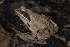 ( - BC ZSM HERP 00122)  @11 [ ] CreativeCommons - Attribution Non-Commercial Share-Alike (2010) Stefan Schmidt ZSM (Zoologische Staatssammlung Muenchen)