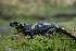 (Salamandridae - BC ZSM HERP 00177)  @15 [ ] CreativeCommons - Attribution Non-Commercial Share-Alike (2010) Stefan Schmidt ZSM (Zoologische Staatssammlung Muenchen)