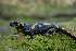 (Salamandra salamandra - BC ZSM HERP 00177)  @15 [ ] CreativeCommons - Attribution Non-Commercial Share-Alike (2010) Stefan Schmidt ZSM (Zoologische Staatssammlung Muenchen)