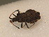  (Enoplops - BFB_Heteroptera_Schmolke_0516)  @13 [ ] CreativeCommons - Attribution Share-Alike (2012) Zoologische Staatssammlung Muenchen Zoologische Staatssammlung Muenchen