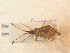  (Syromastes - BFB_Heteroptera_Schmolke_0938)  @11 [ ] CreativeCommons - Attribution Share-Alike (2012) Zoologische Staatssammlung Muenchen Zoologische Staatssammlung Muenchen