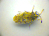  ( - BFB_Heteroptera_Kuechler_0130)  @12 [ ] CreativeCommons - Attribution Share-Alike (2010) Zoologische Staatssammlung Muenchen Zoologische Staatssammlung Muenchen
